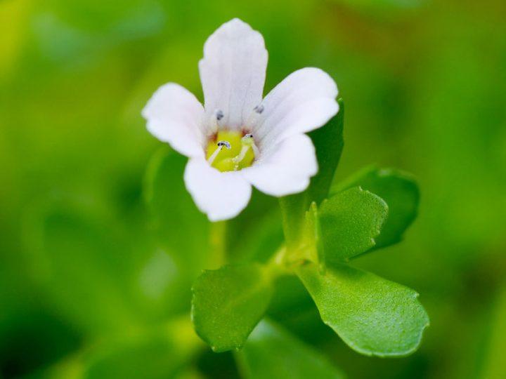 Bacopa Monnieri proprietà e uso della pianta per memoria e attenzione